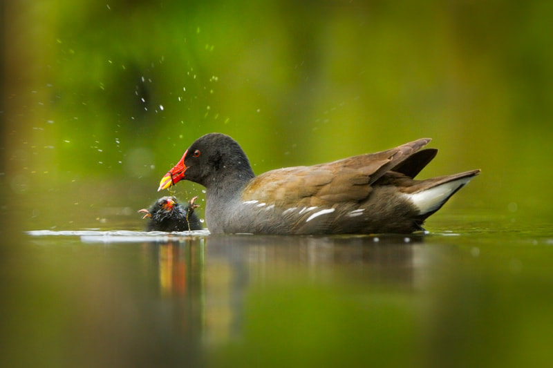 Photograph Common Moorhen (Gallinula chloropus) by Ales Gola on 500px