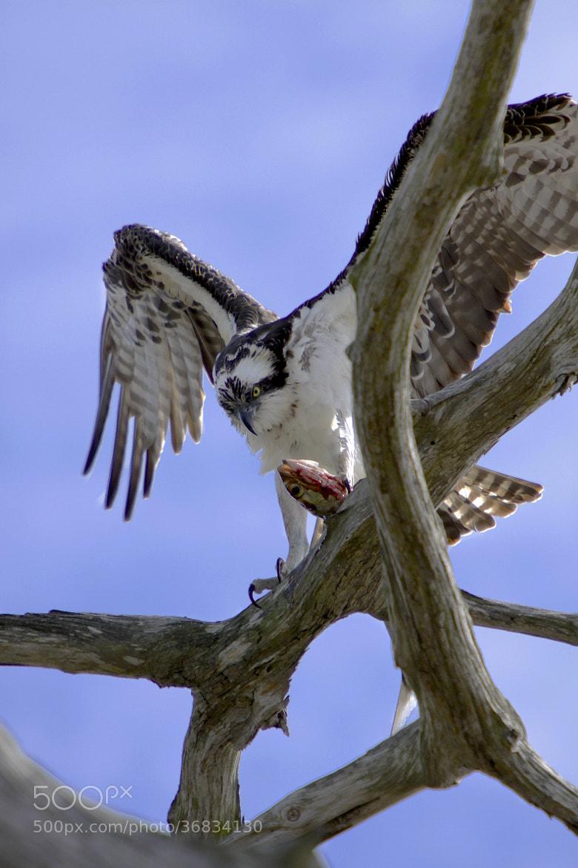Photograph Osprey Dinner by Joseph Urgo on 500px