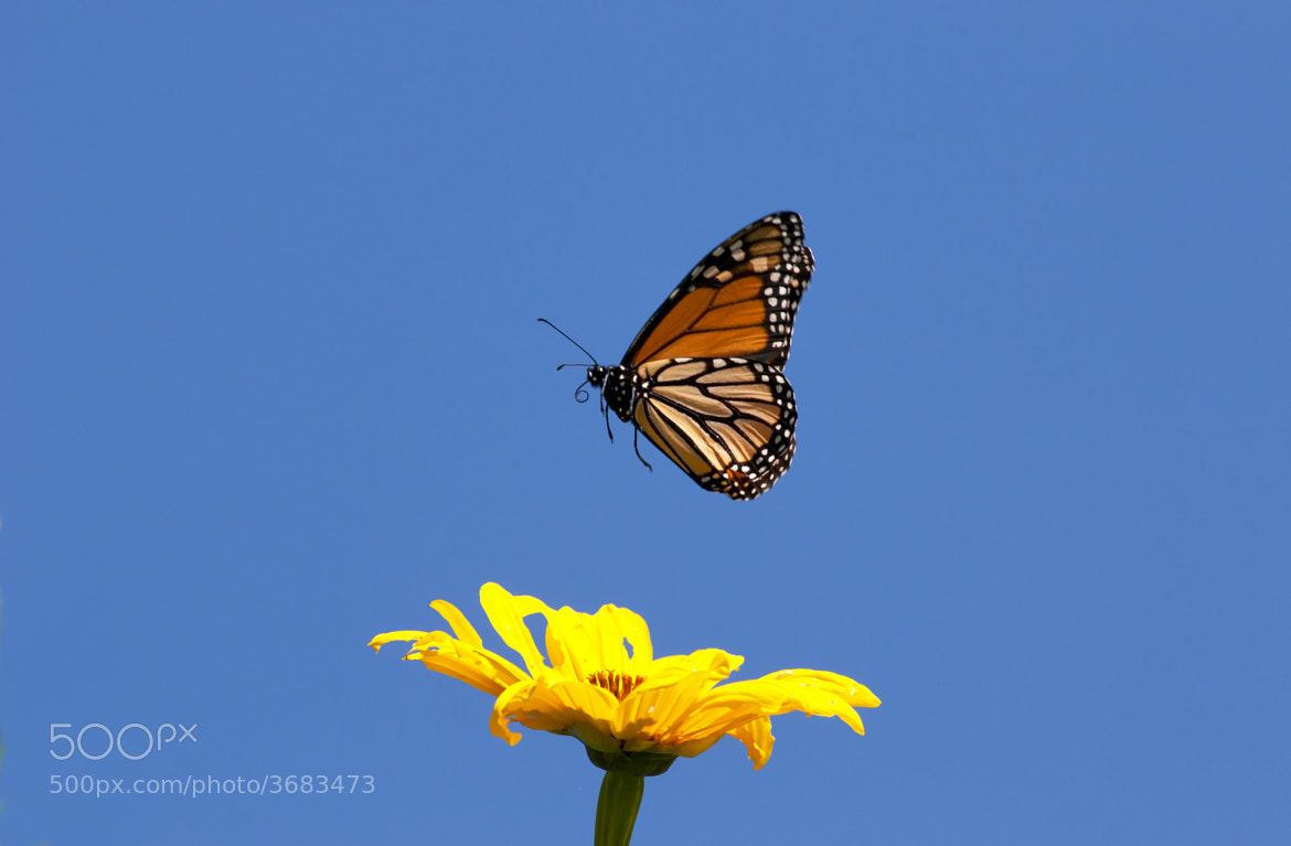 Photograph Monarch Butterfly in Flight by Jim McKinley on 500px