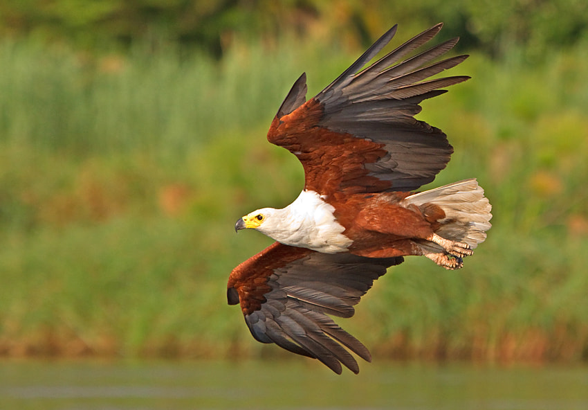 Photograph Banking Fish Eagle by Hendri Venter on 500px