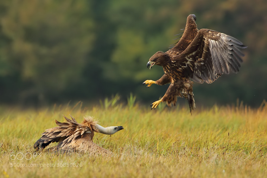 Photograph Vulture vs Eagle by Marcin Nawrocki on 500px