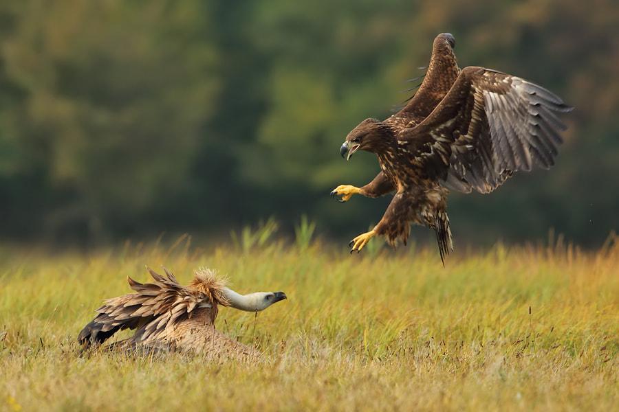 Vulture vs Eagle