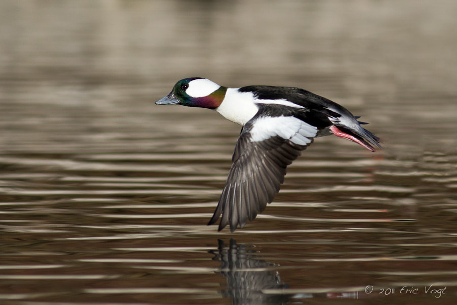 Photograph Bufflehead In Flight by Eric Vogt on 500px