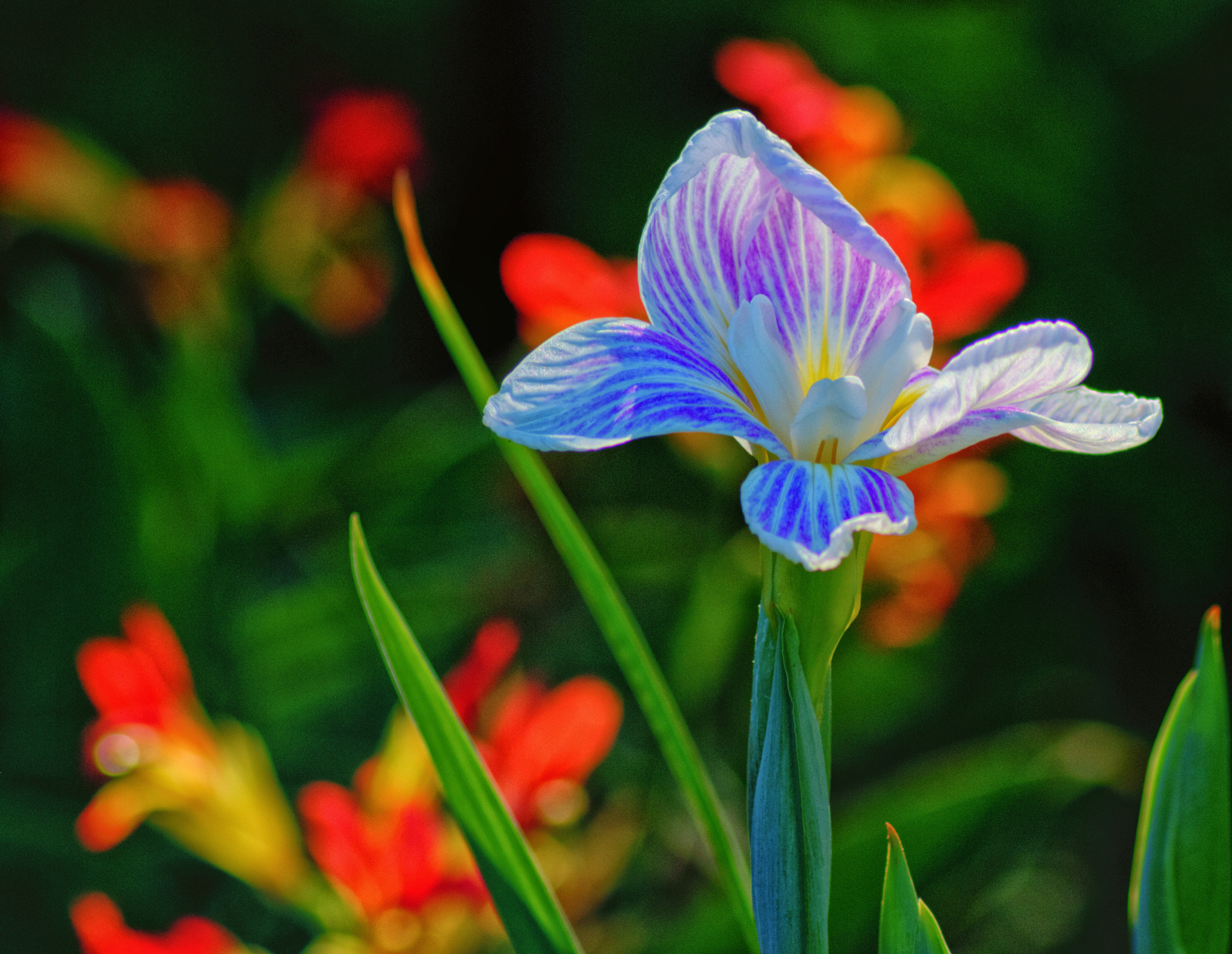 Photograph Japanese Iris by James Gramm on 500px
