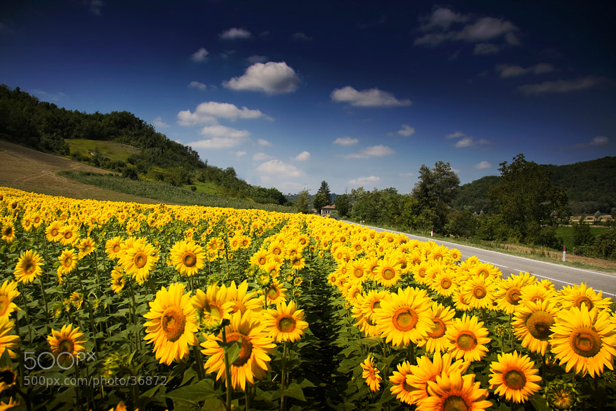 Photograph Sunflowers by Alessandro Calzolaro on 500px