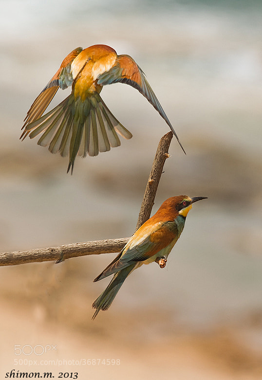 Photograph A pair of bee-eaters by shimon mentel on 500px