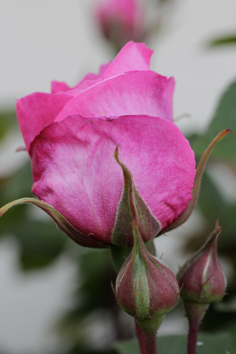 Photograph Gertrude Jekyll rose buds by Jean Allenet on 500px
