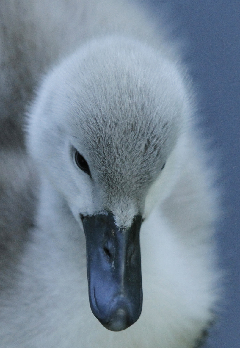 Photograph cygnet by natalie philp on 500px