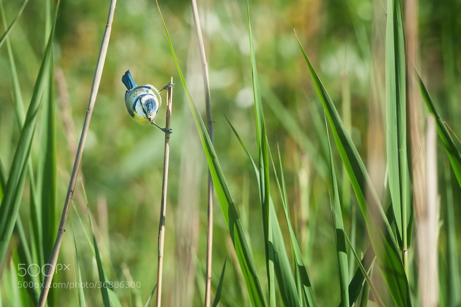 Photograph Meise im Schilf (2a) | Chickadee among the reeds (2a) by Franz Engels on 500px