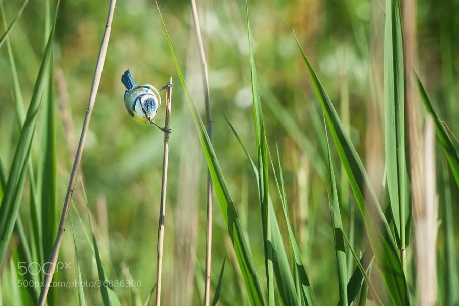 Meise im Schilf (2a) | Chickadee among the reeds (2a)