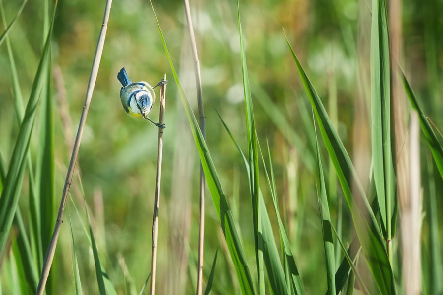 Meise im Schilf (2a) | Chickadee among the reeds (2a)