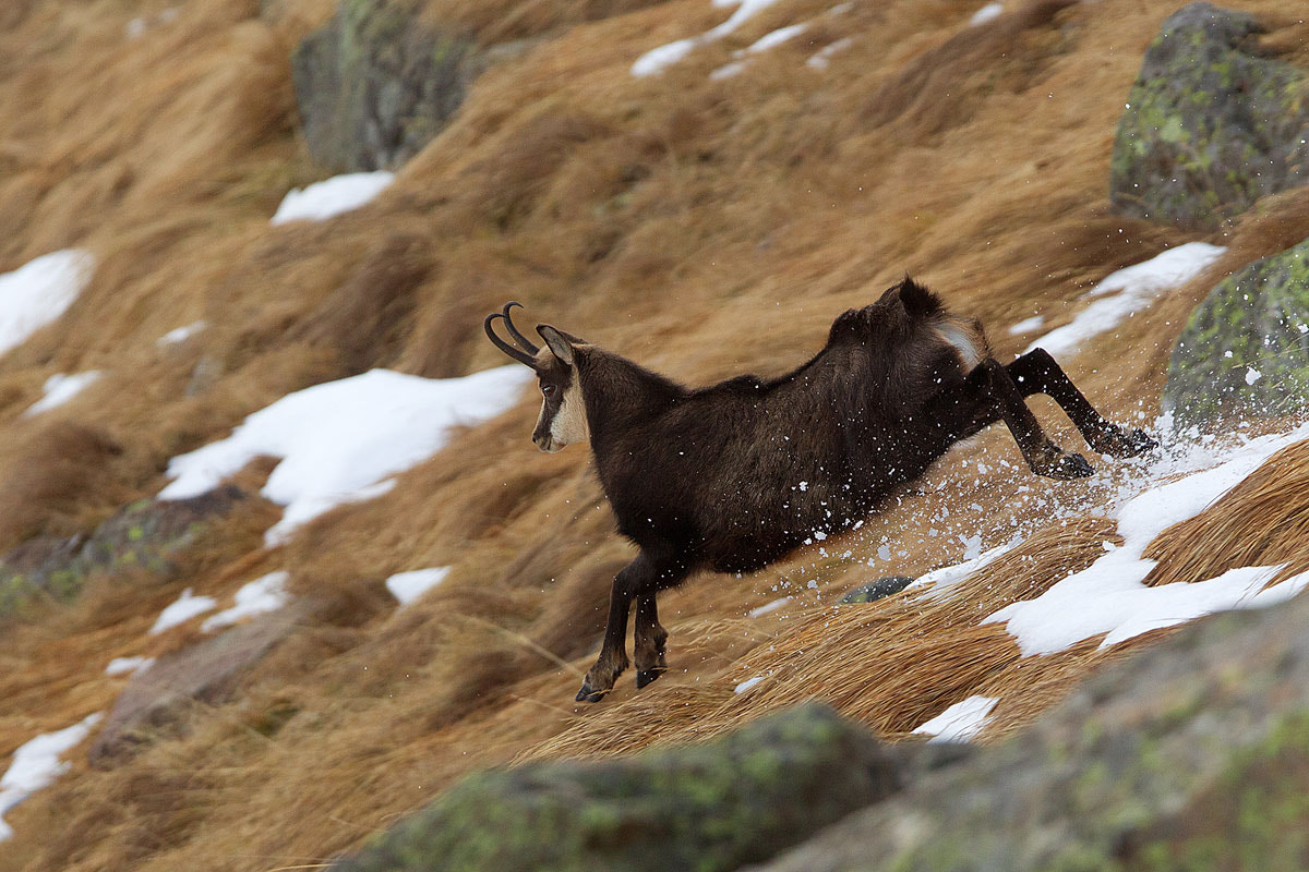 Photograph chamois by march graziano on 500px