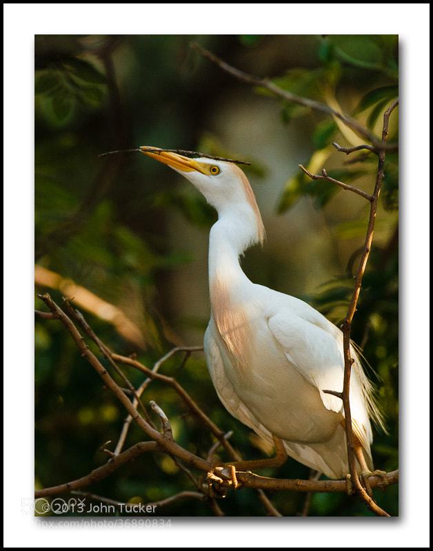 Photograph Cattle Egret by John Tucker on 500px