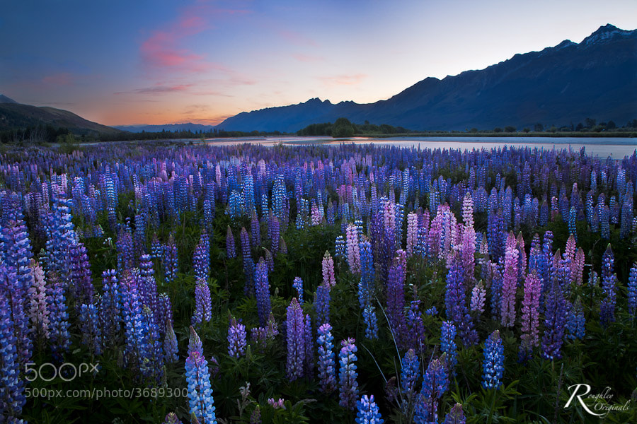 Photograph Rees Lupins by Roughley Originals on 500px
