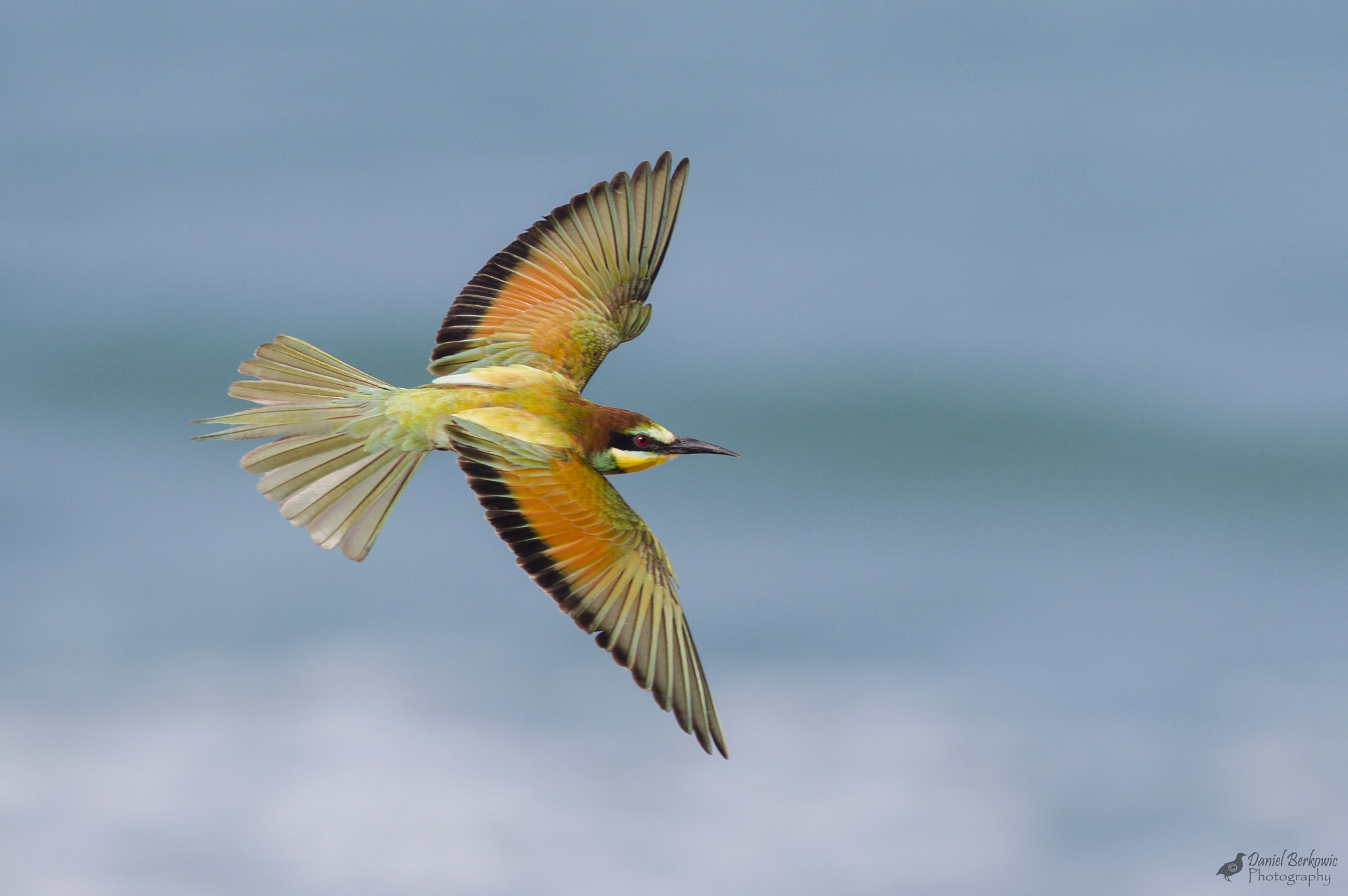 Photograph Bee-eater by Daniel Berkowic on 500px