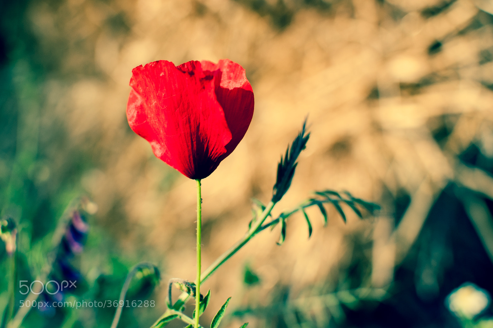 Photograph Day 157: Poppy by Yane Naumoski on 500px