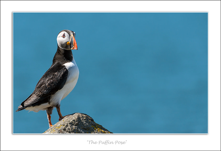 Photograph 'The Puffin Pose' by Karen McDonald on 500px