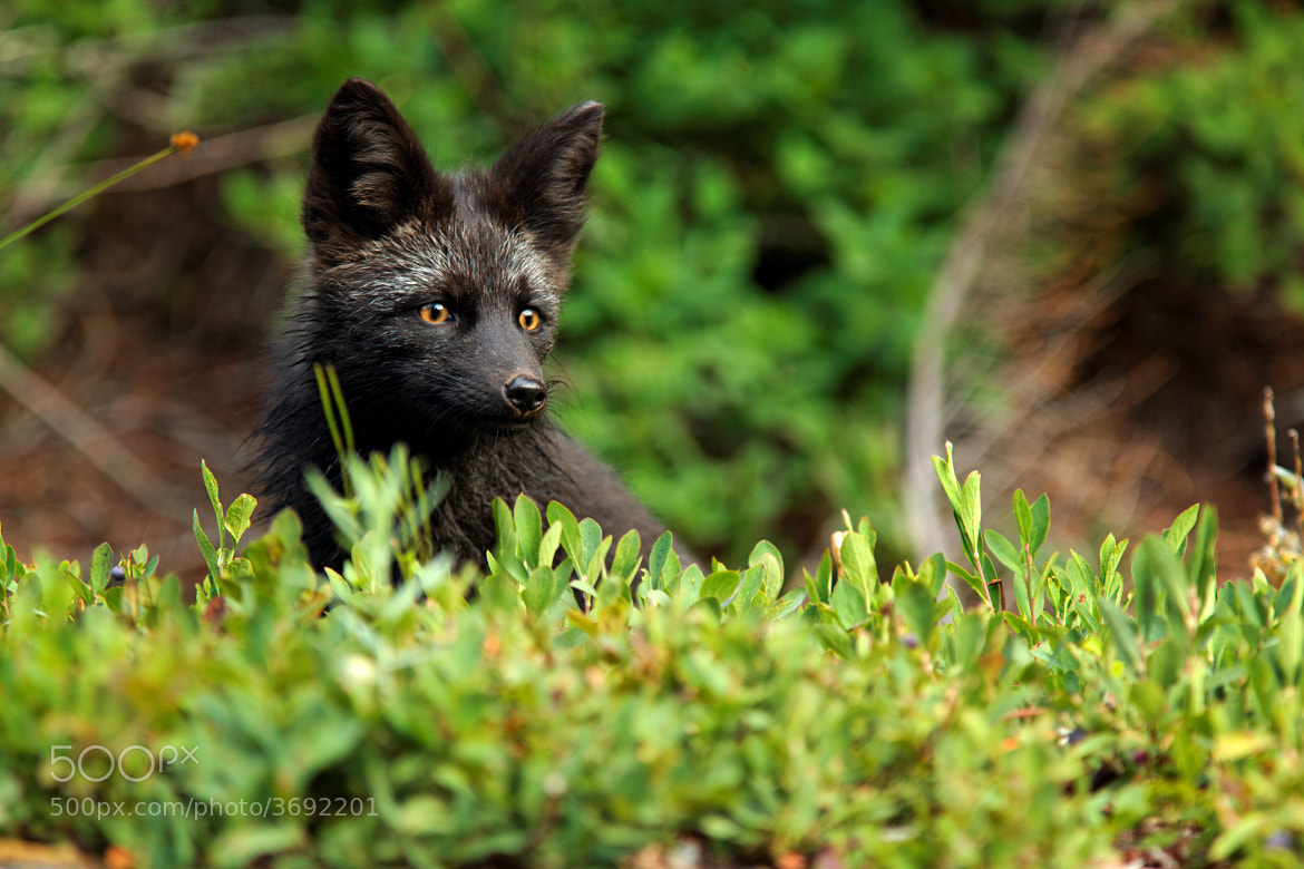 Photograph Black Fox, Mount Rainier National Park by Brad Mitchell on 500px