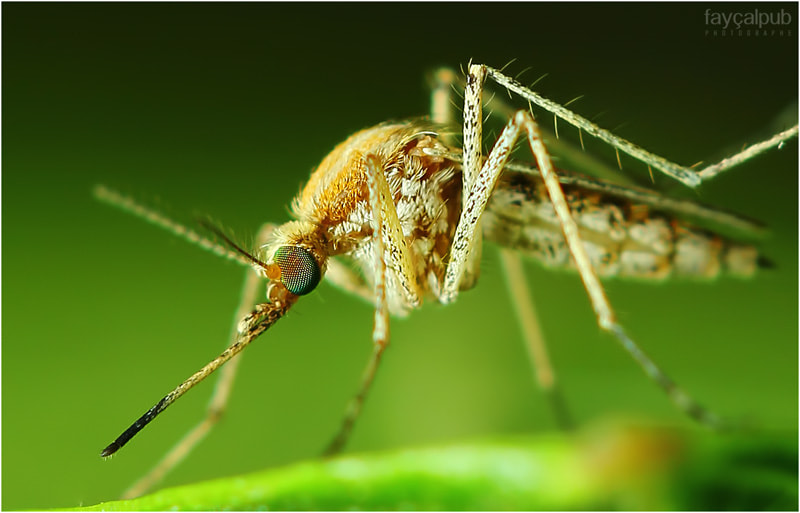 Photograph Mosquito  by Fayçal Mimoun on 500px