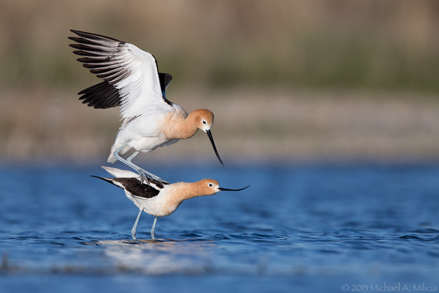 Photograph American Avocets : Bowdoin NWR : Malta, MT by Michael Milicia on 500px