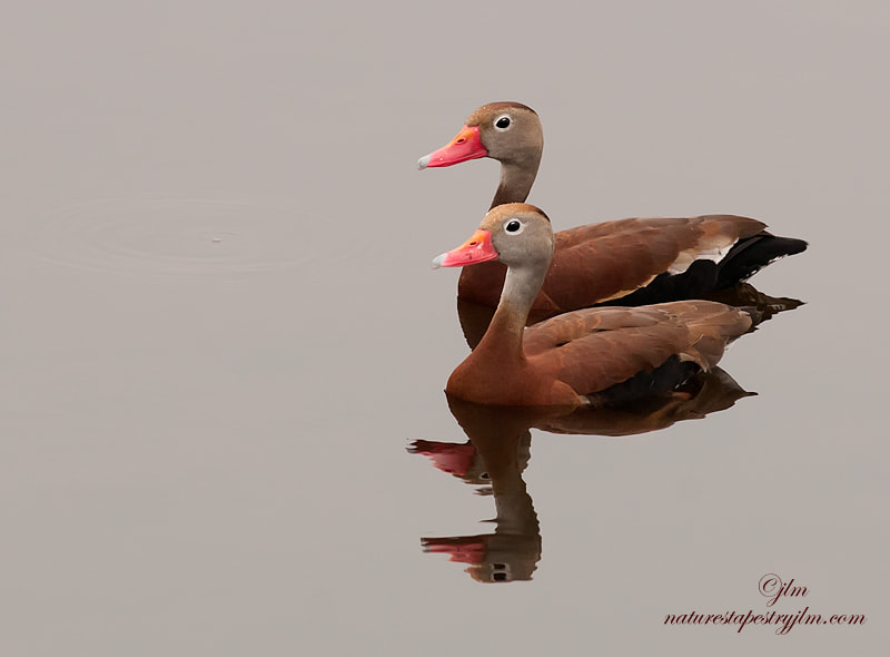 The sun was setting and there was a pink glow when this image was captured of the male and female whistling duck together.