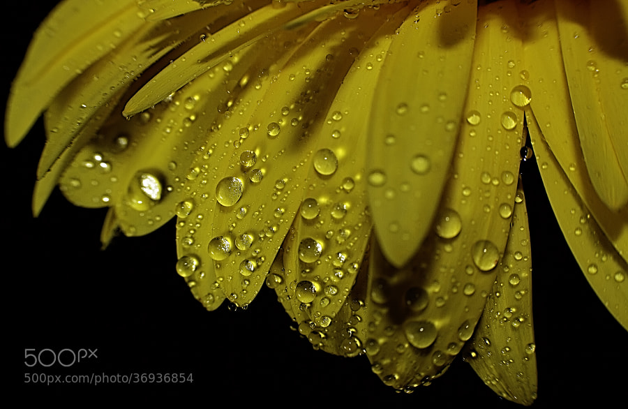 floating drops from flower, Macro shot of Yellow Daisy