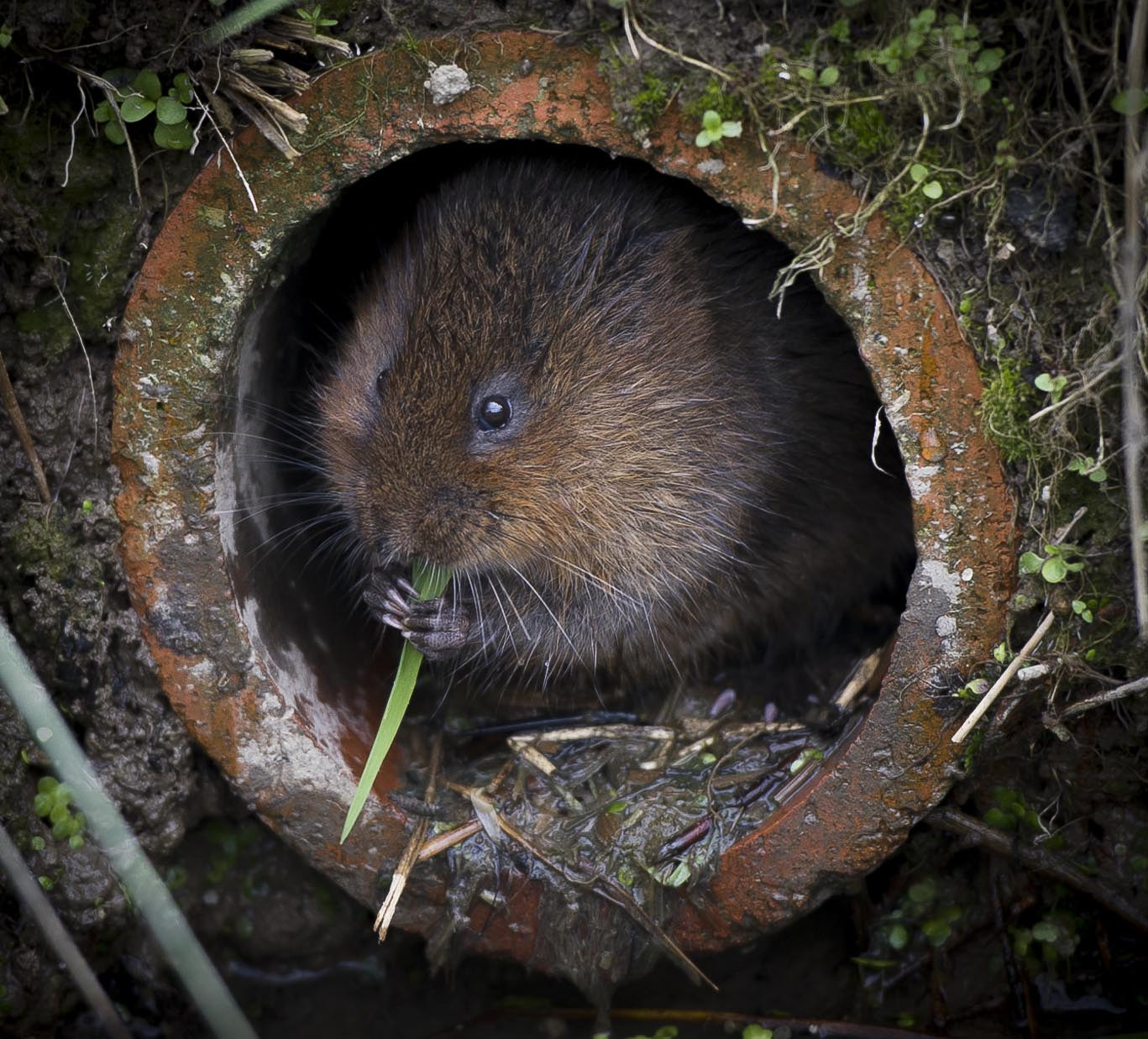Photograph Water vole by Russ Valentine on 500px