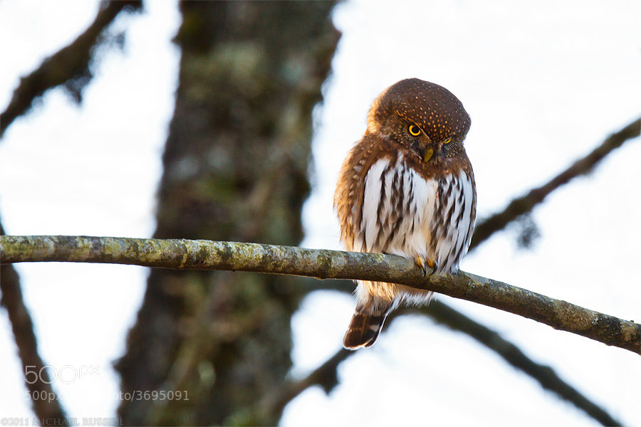 Northern Pygmy-Owl by Michael Russell on 500px.com