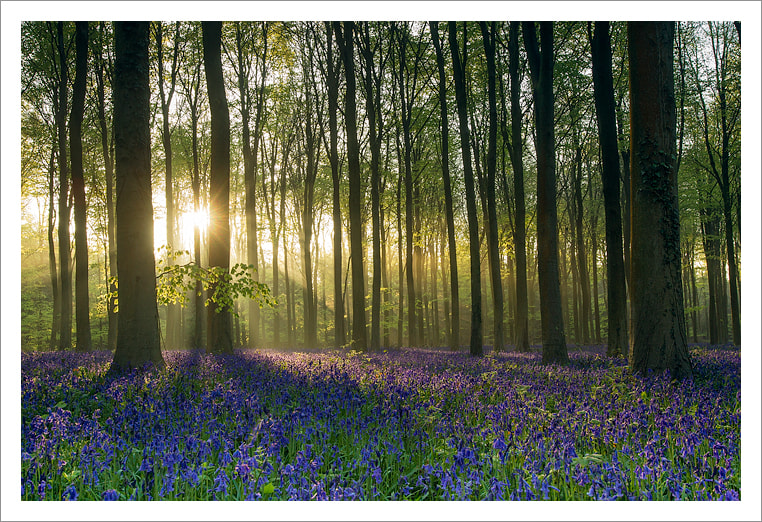 Photograph Rhapsody in Bluebells by Jules Cox on 500px