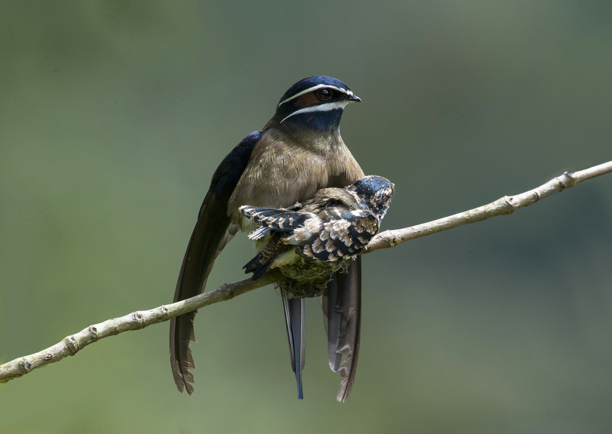 Photograph Whiskered Treeswift by Allan Seah on 500px