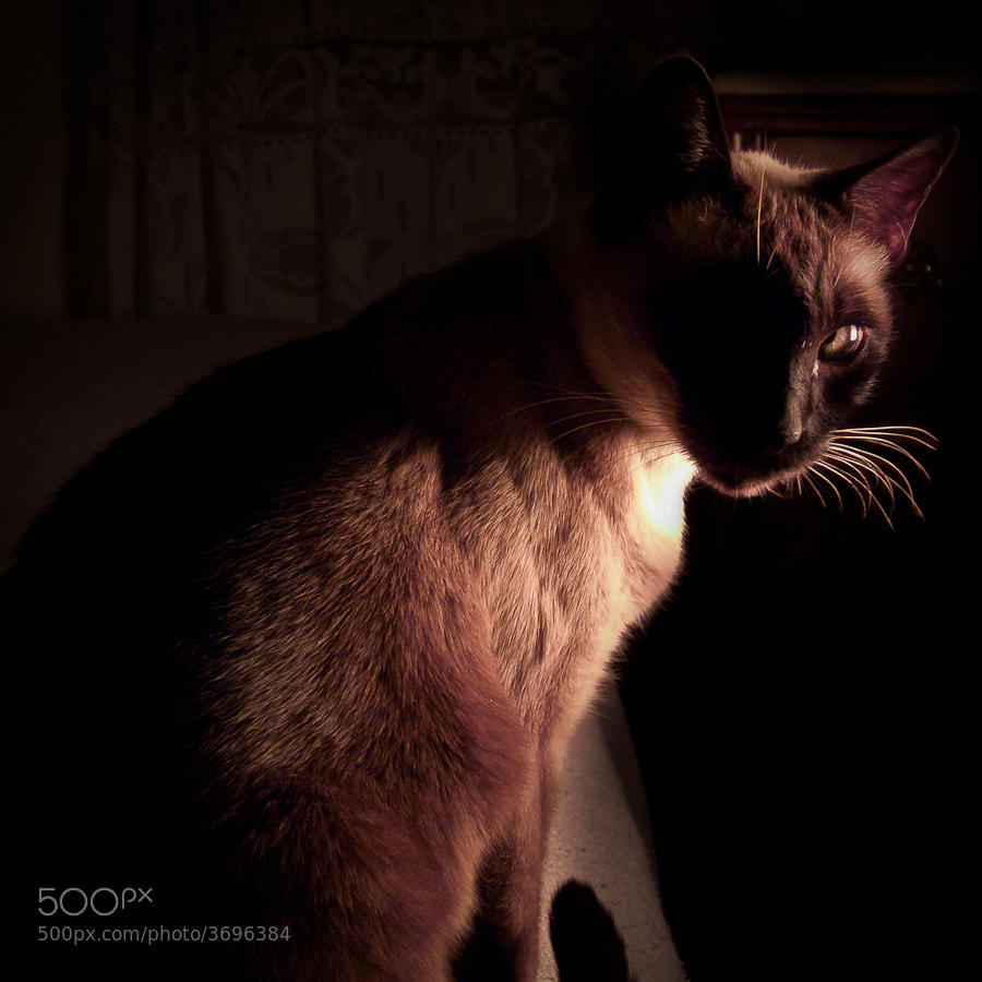 Photograph Night Cat by Martin Bove on 500px