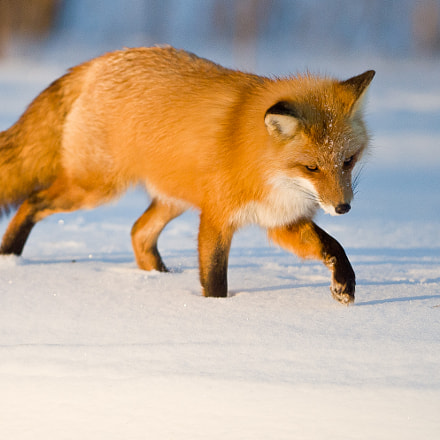 The chase: Red fox