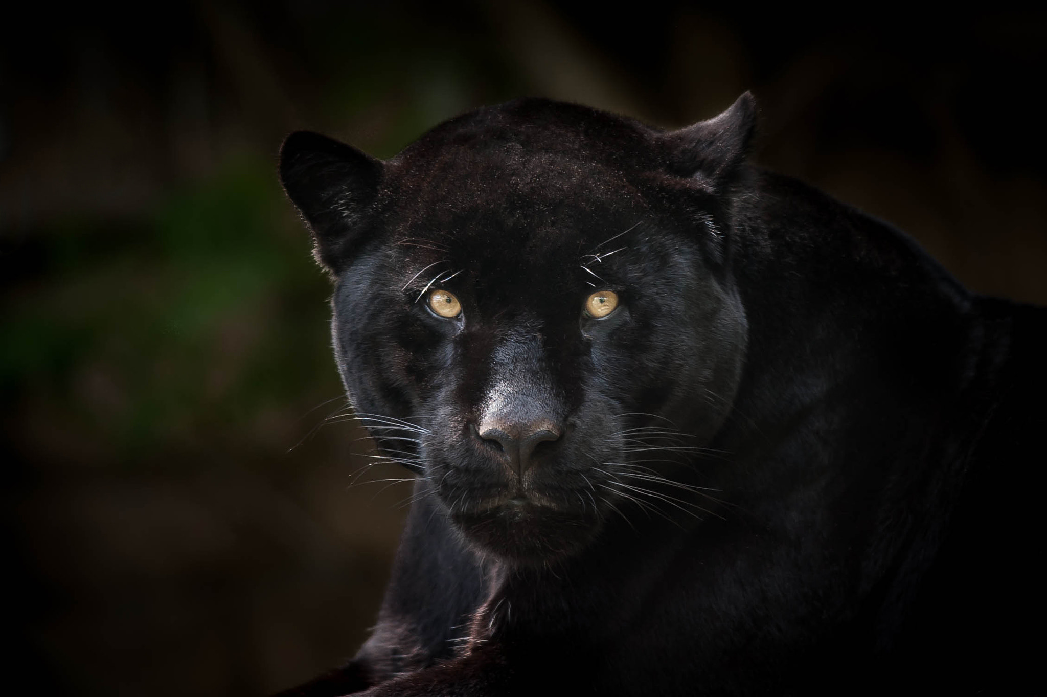 Photograph Black Jaguar by Justin Lo on 500px