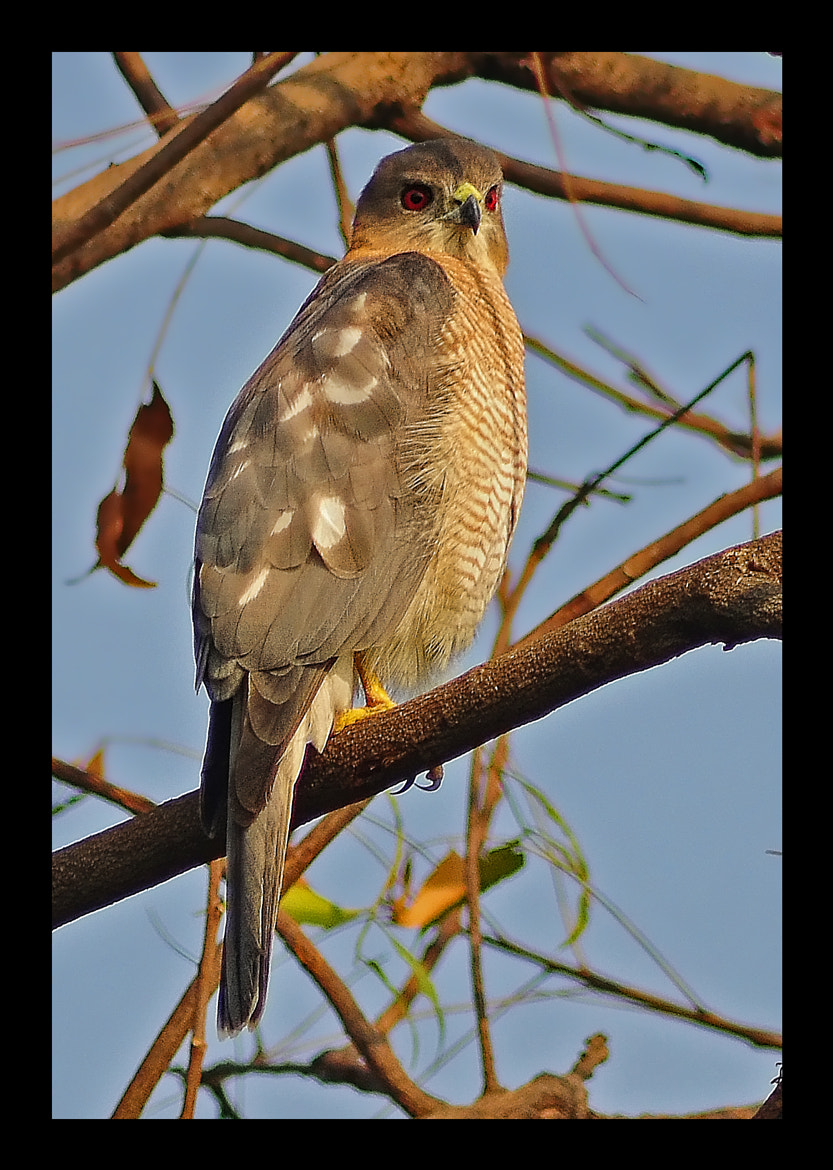 Photograph Shikra by raj dhage on 500px
