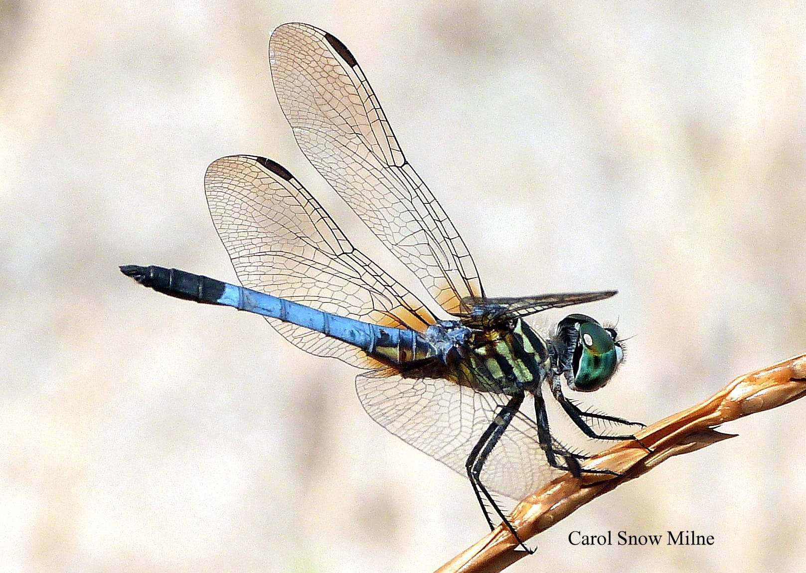 Photograph Blue Dasher Beauty!! by Carol Snow Milne on 500px