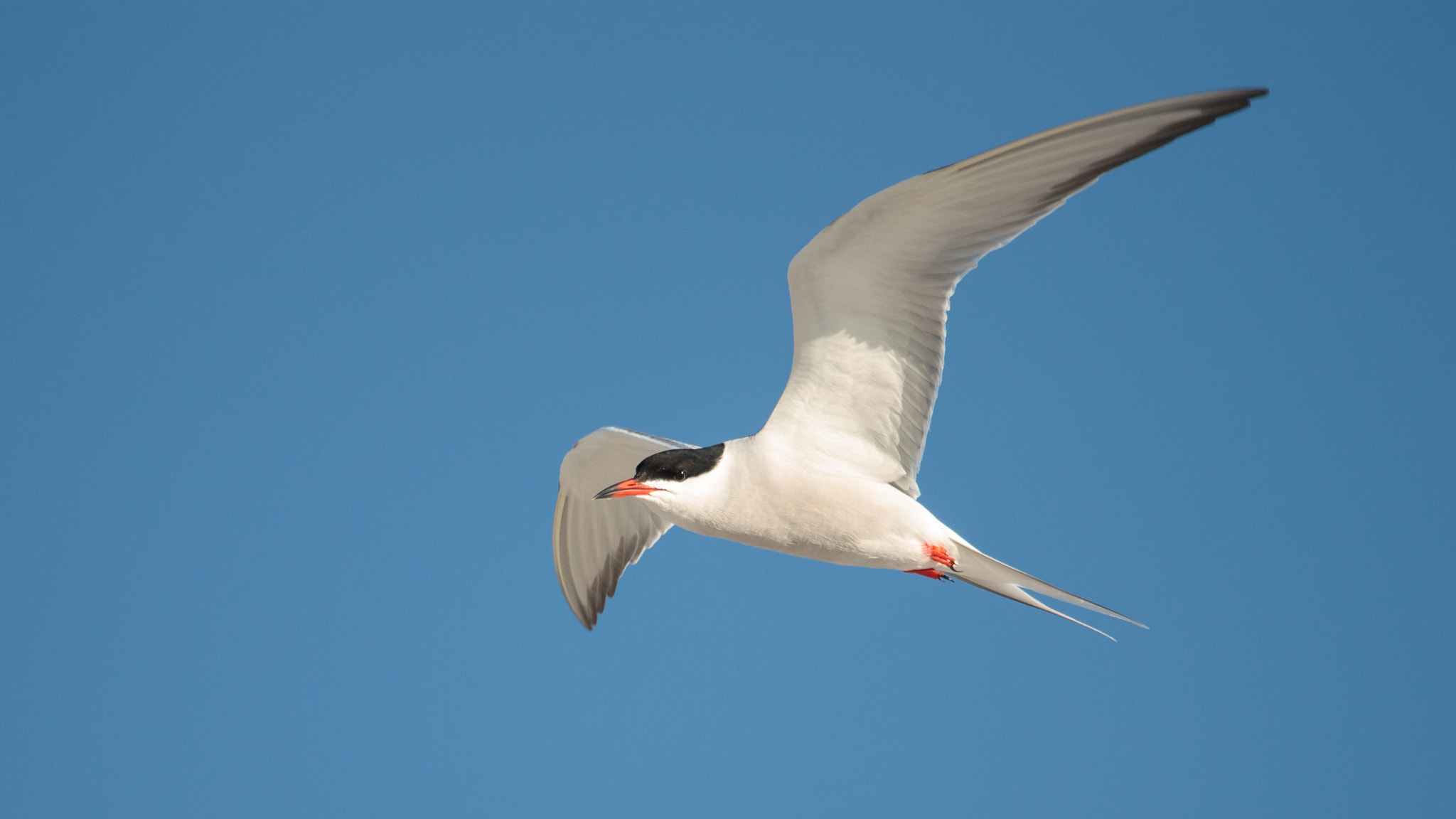 Photograph Common Tern by Bill McBride on 500px
