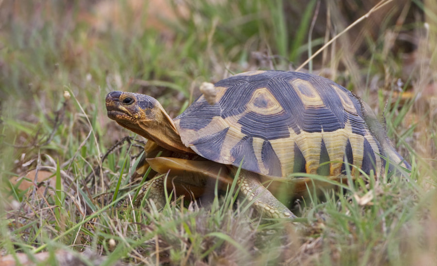 I am pretty sure this is my forst sighting of this little tortoise, unfortunatel the grass proved a little bothersome.  Taken in Bontebok National Park, (our local park) yesterday.