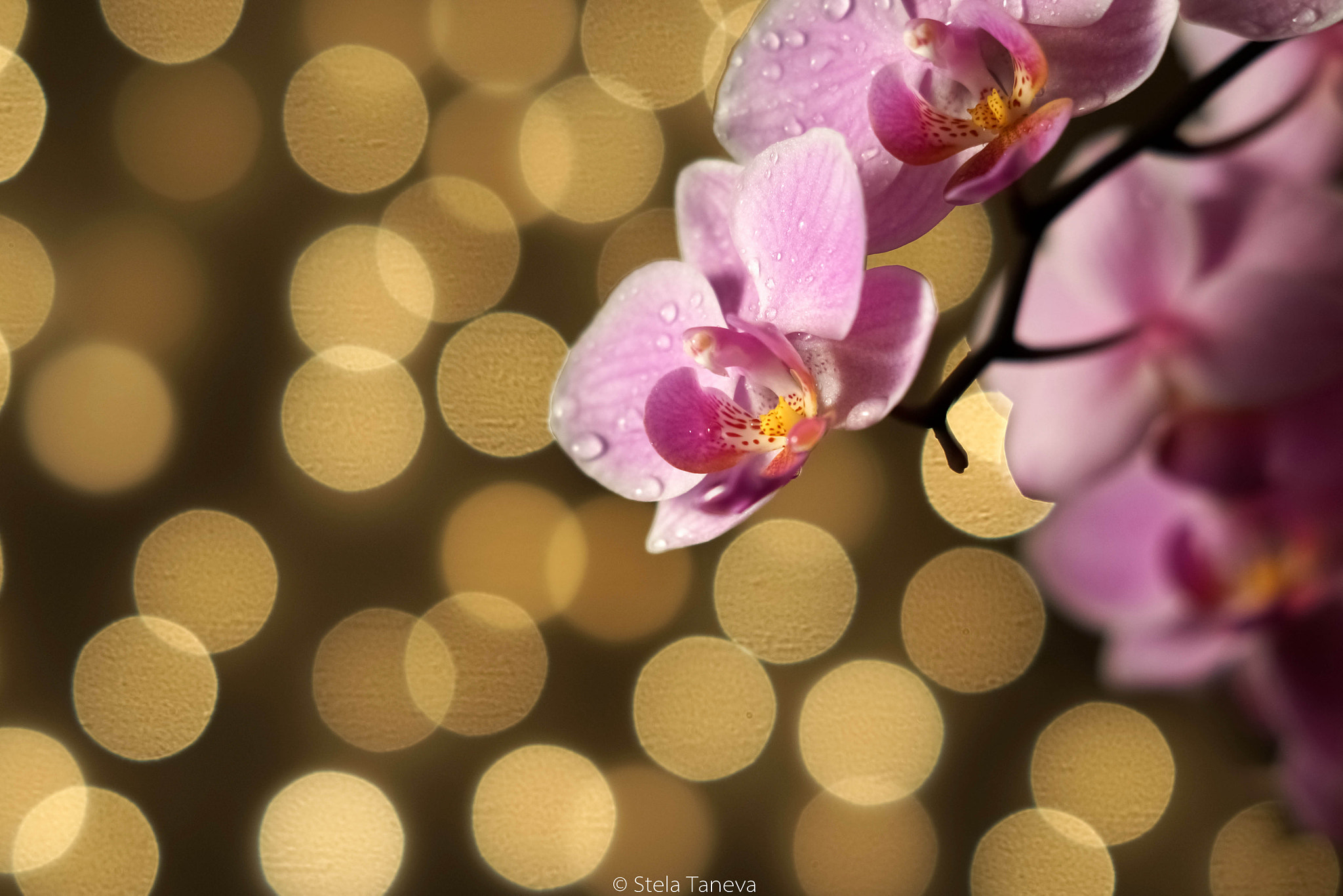 Photograph The orchid by Stela Taneva on 500px