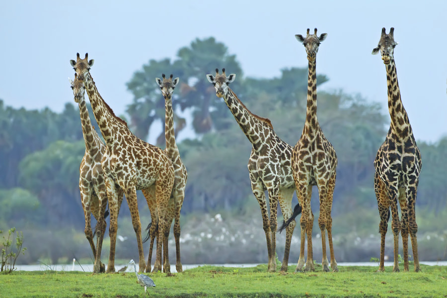 As we returned from our evening cruise on Lake manze channel, these giraffe decided to wait until we had moored up before crossing