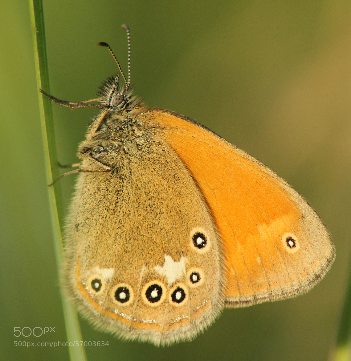 Photograph just a butterfly by András Herceg on 500px