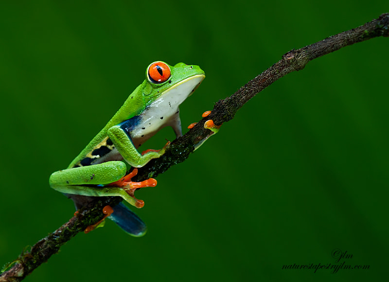 This image of the red eyed frog was taken on our recent trip to Costa Rica.  They are so beautiful and such a wonderful and great subject to phtograph.  As I had mentioned earlier flash will damage their eyes so they must be captured in natural lighting.