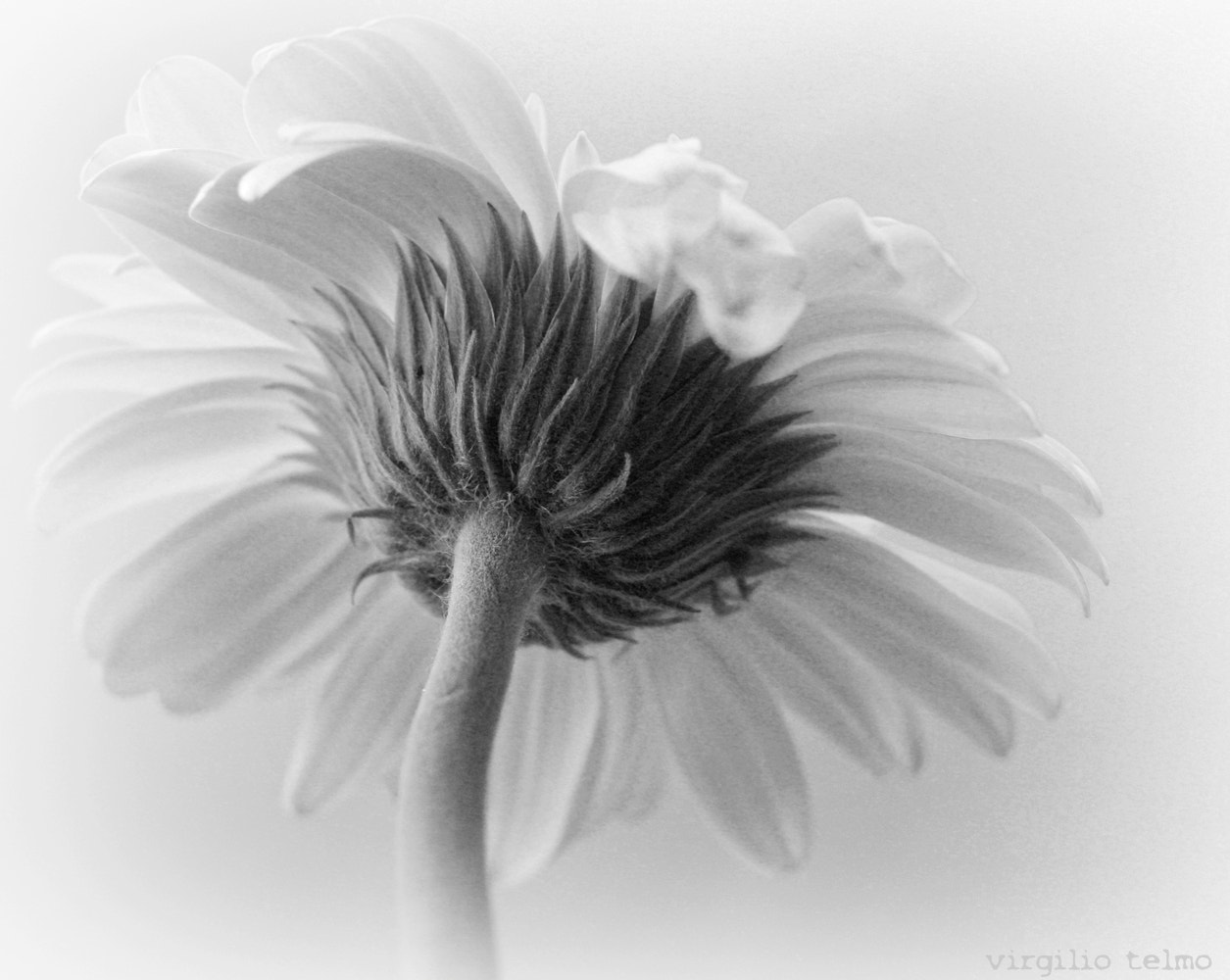 Photograph The flower in black and white by Vey Telmo on 500px
