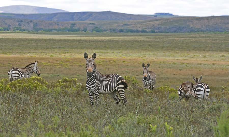 We found this family of Mountain Zebra yesterday in Bontebok National Park, South Africa.  Typical weather for a Sunday