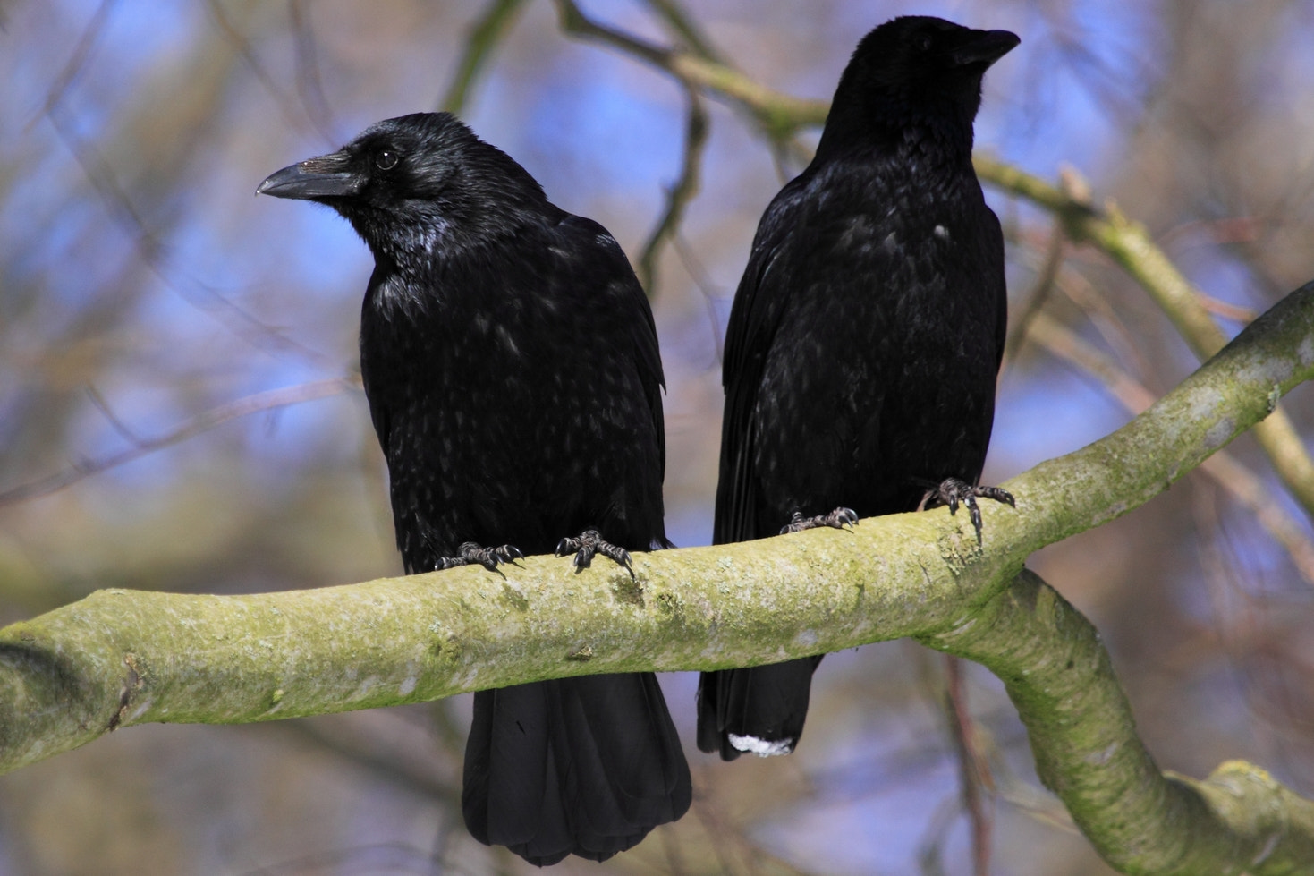 Photograph Corvus corone by Torben Langer on 500px