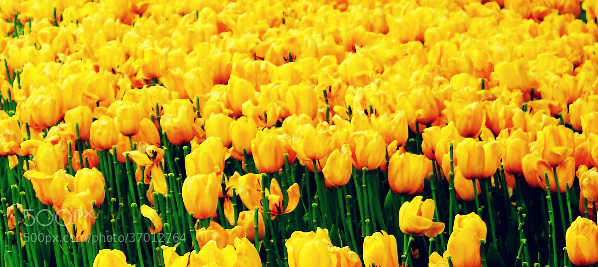 Photograph Yellow Tulips.. by Mustafa Dirik on 500px