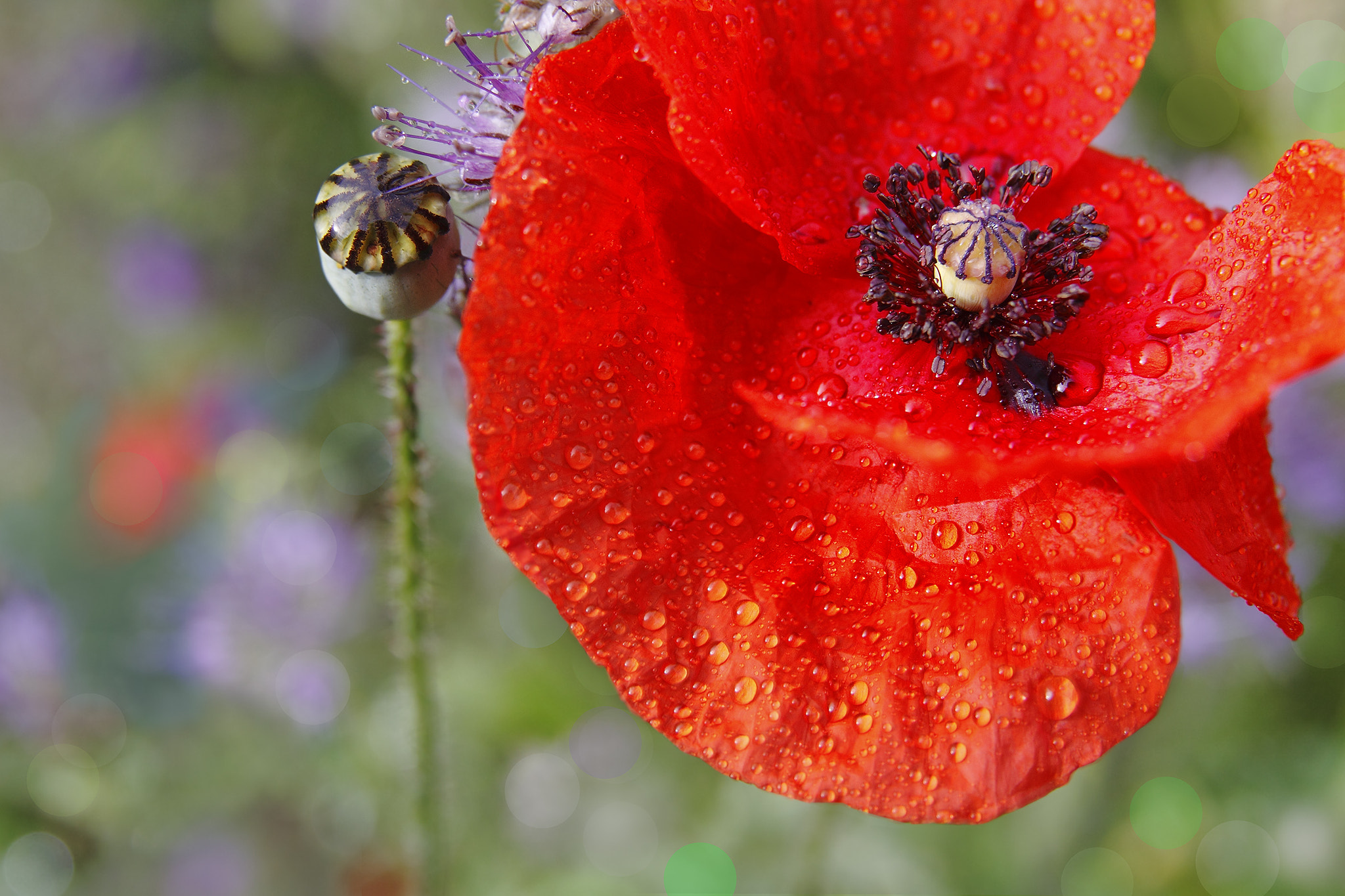 Photograph Coquelicot by Glusak Christian on 500px