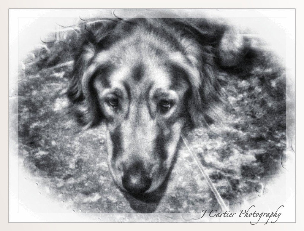 Photograph Golden Retriever in B&W  by Jerome Cartier on 500px