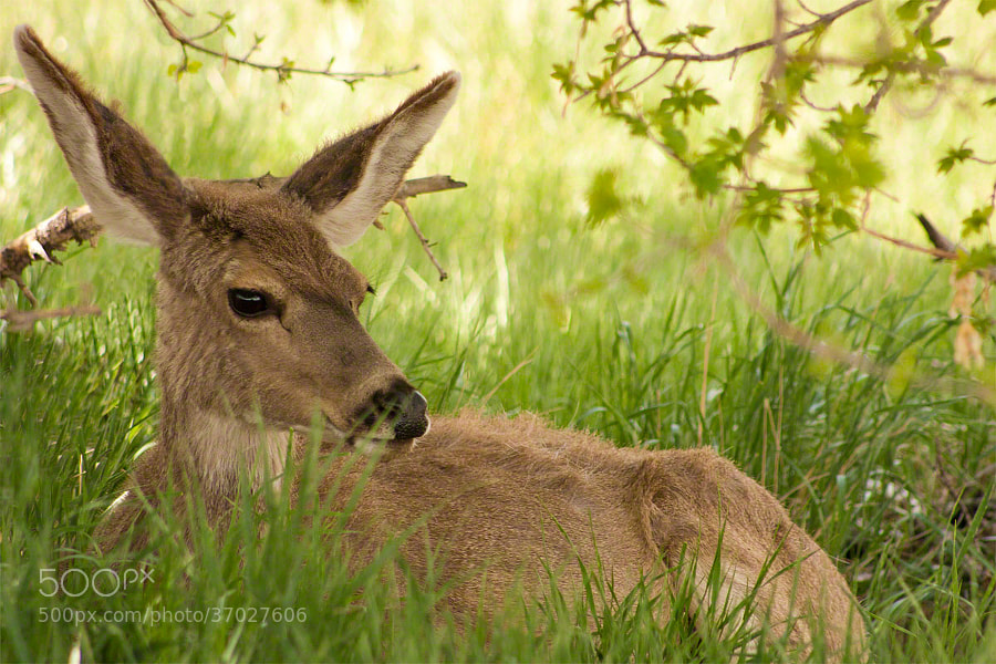 Mule Deer taking a mid-afternoon rest in Rocky Mountain Arsenal National Wildlife Refuge.