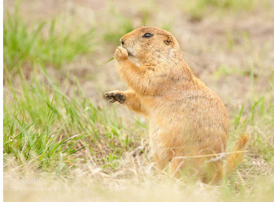 Prairie Dog enjoying its stash of grass.