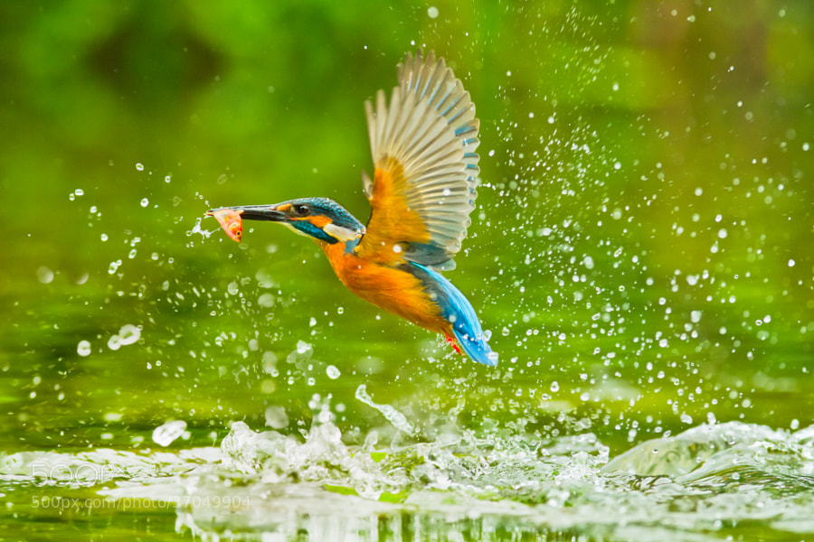 Photograph Kingfisher by Sue Hsu on 500px